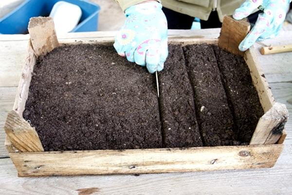 Рассада портулака: как вырастить из семян, сроки посева