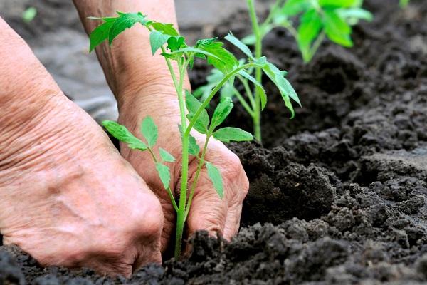 Высаживать томаты в открытый грунт