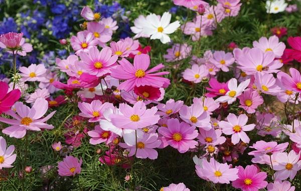 Космея дваждыперистая цветок