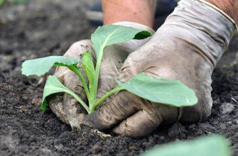 Высадка рассады капусты в открытый грунт