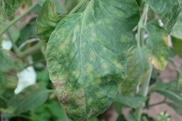 Скручиваются листья у баклажан