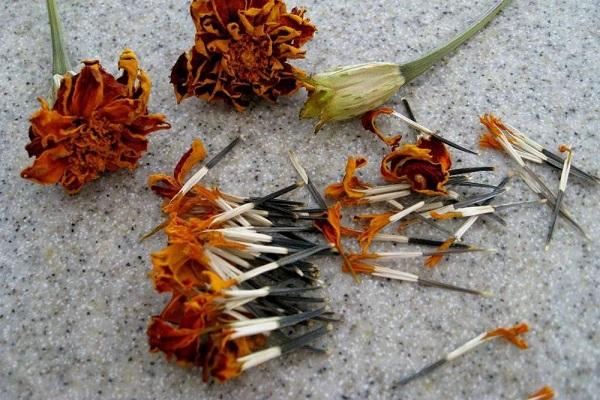 Семена бархатцев