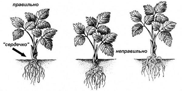 Схема посадки клубники в грунт