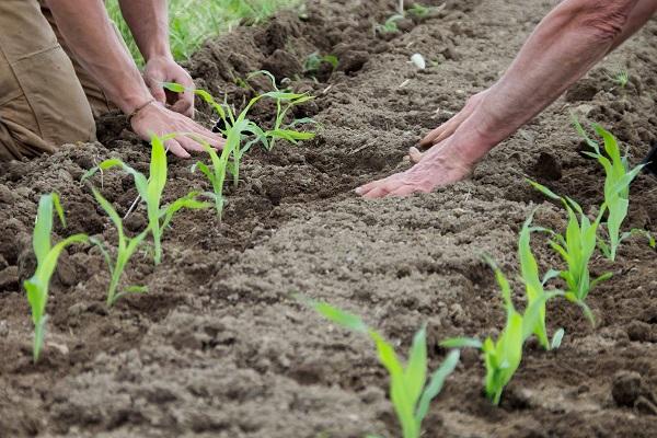 Посадка рассады кукурузы