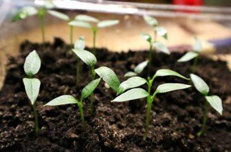 Выращивание рассады перца из семян
