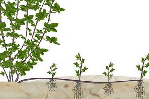 Размножение ежевики отводками