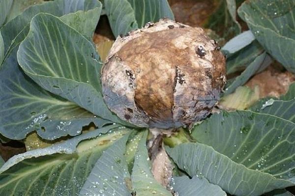 Фомоз капусты