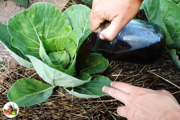 Подкормка капусты