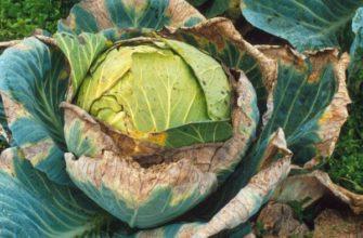 Желтеют листья у капусты