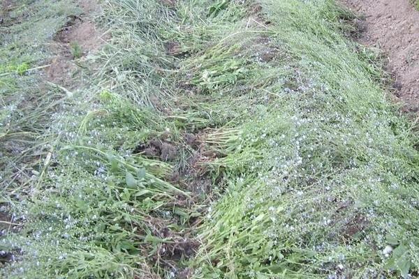 Трава на грядке