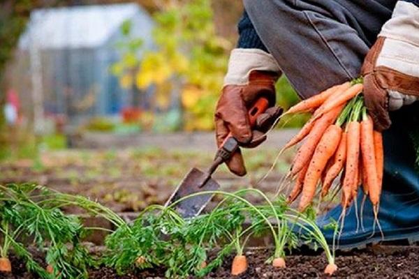 Сбор моркови