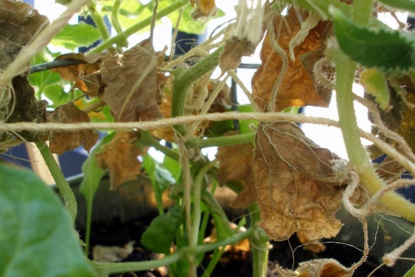Желтеют листья огурцов