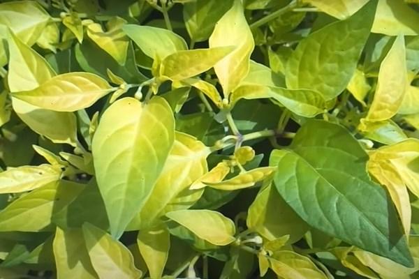 Желтые листья перца
