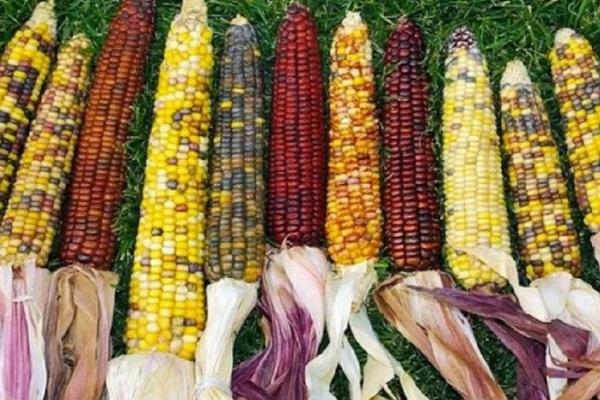 Кукуруза разных сортов