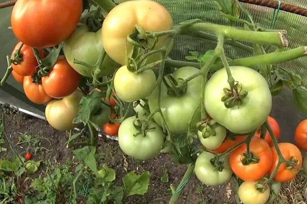 Дозаривание помидоров