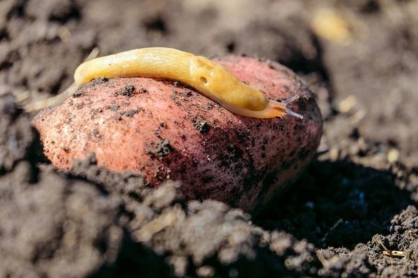 Слизни на картофеле