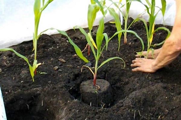 Высадка рассады кукурузы