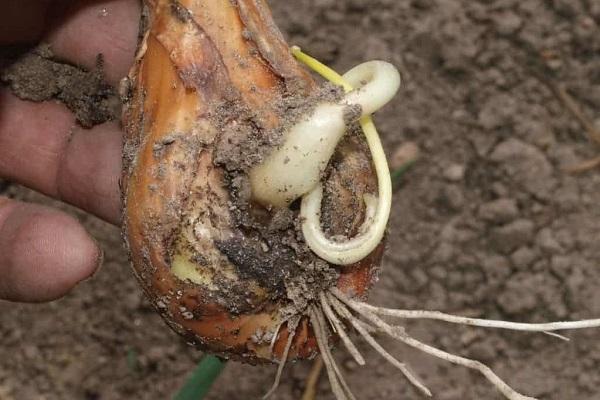 Луковые нематоды