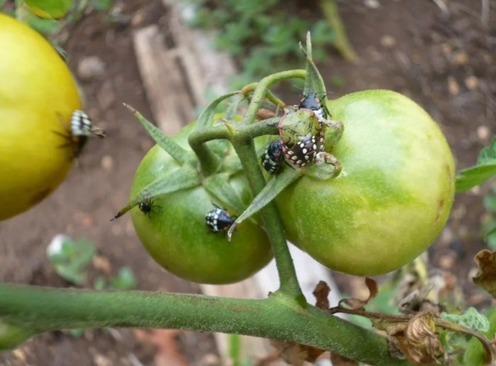 Клопы на помидорах