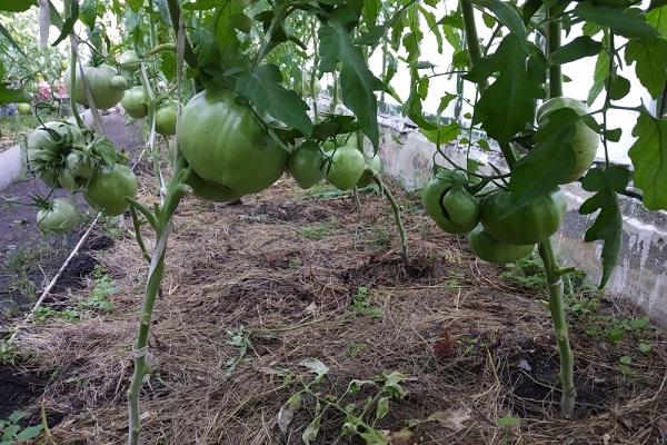 Мульчирование помидор