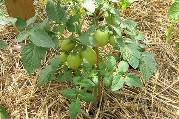 Мульчирование помидоров