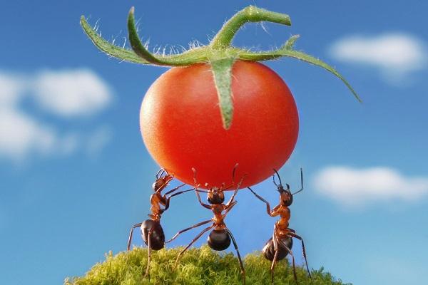 Муравьи и помидор