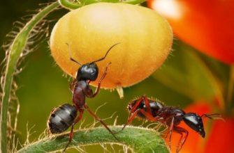 Муравьи в помидорах